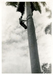 1947 - A Man Climbing a Tree in Havana, Cuba by Jean Anna Faut